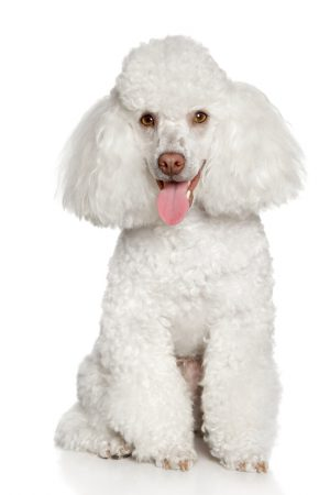 White poodle puppy, isolated on a white background